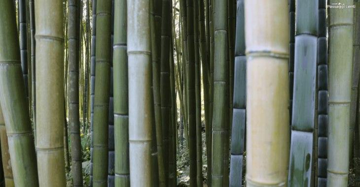 Bambù nel giardino di Ninfa