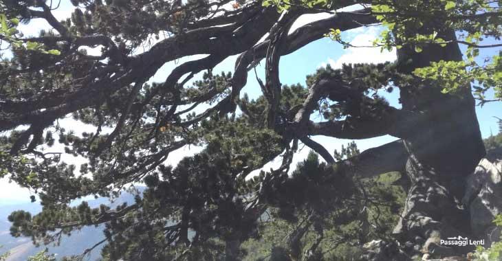 Il Patriarca del Pollino, pino loricato