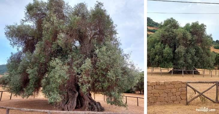 Sa Reina, l'ulivo millenario a Villamassargia