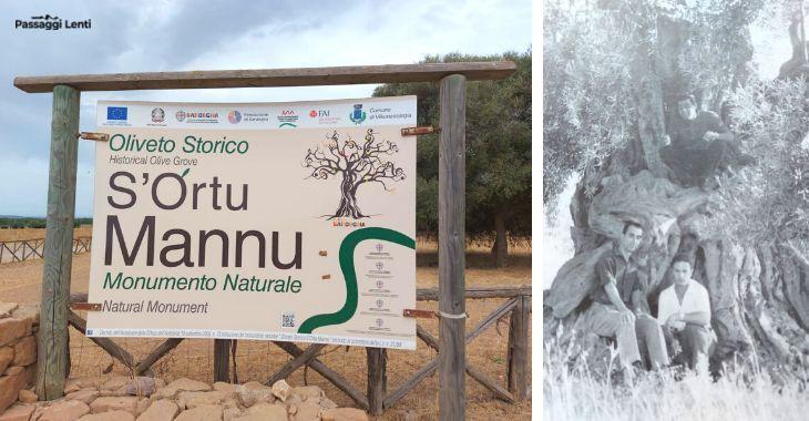 Sortu Mannu, oliveto storico in Sardegna