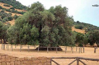 Ulivi secolari in Sardegna, S'Ortu Mannu a Villamassargia